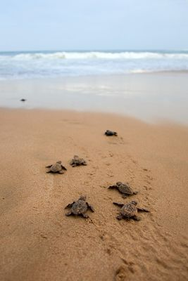 Turtles in Kosi Bay, KwaZulu-Natal