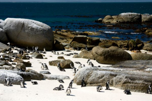 Cape Penguin, Boulders Beach